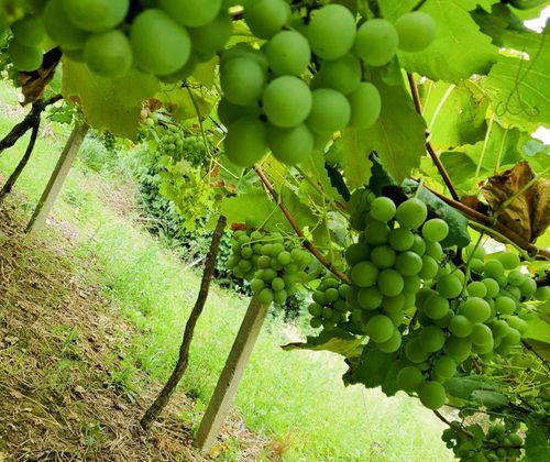 Conhecendo a Uva Goethe - Vinhos e Espumantes.